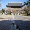 桜散りゆく