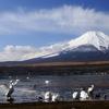 白鳥と富士