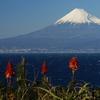 アロエの花と富士