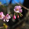 今年はじめての桜