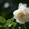 鶴舞公園のバラ。