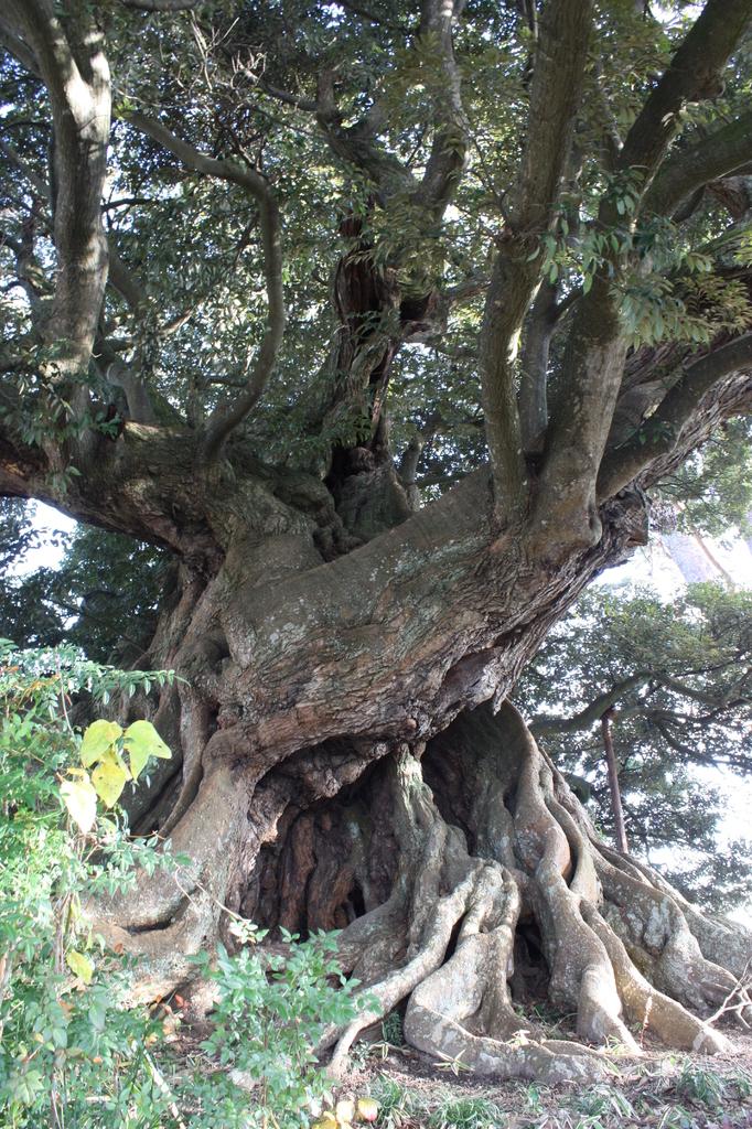巨木しいの木