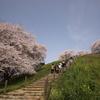 まんかい桜2010