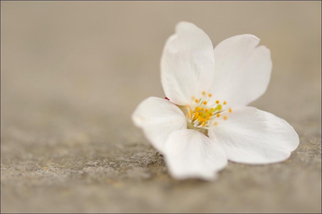 落ちても「桜」