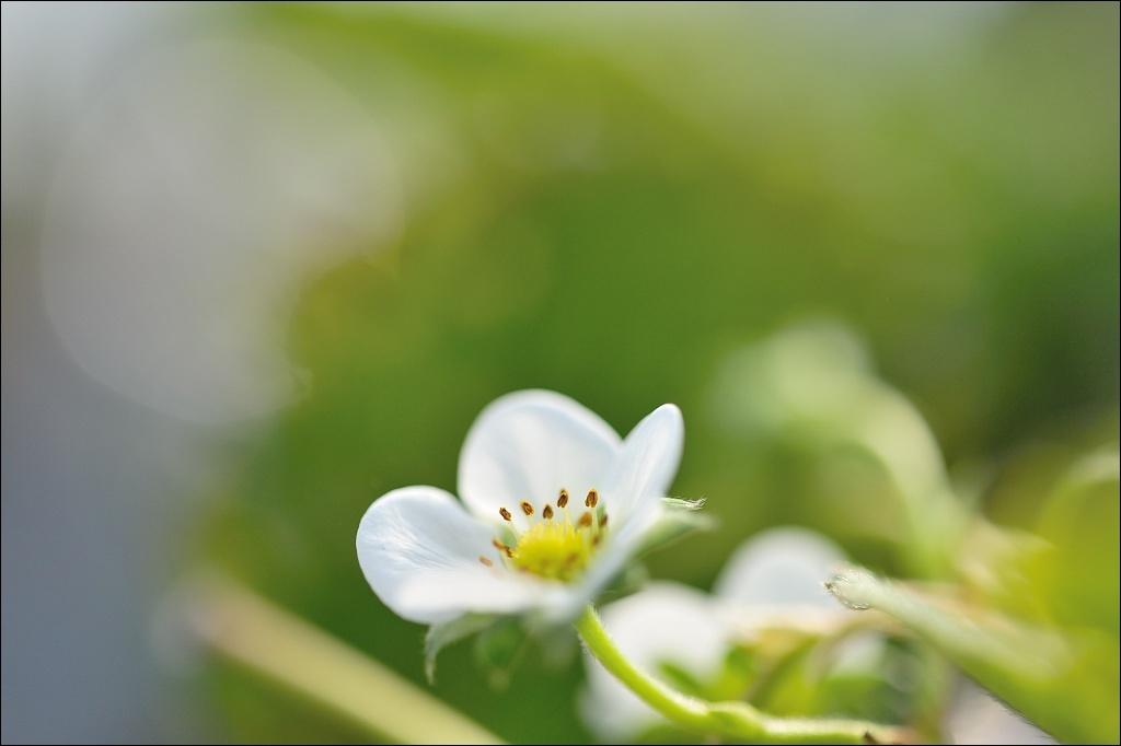 とちおとめの花