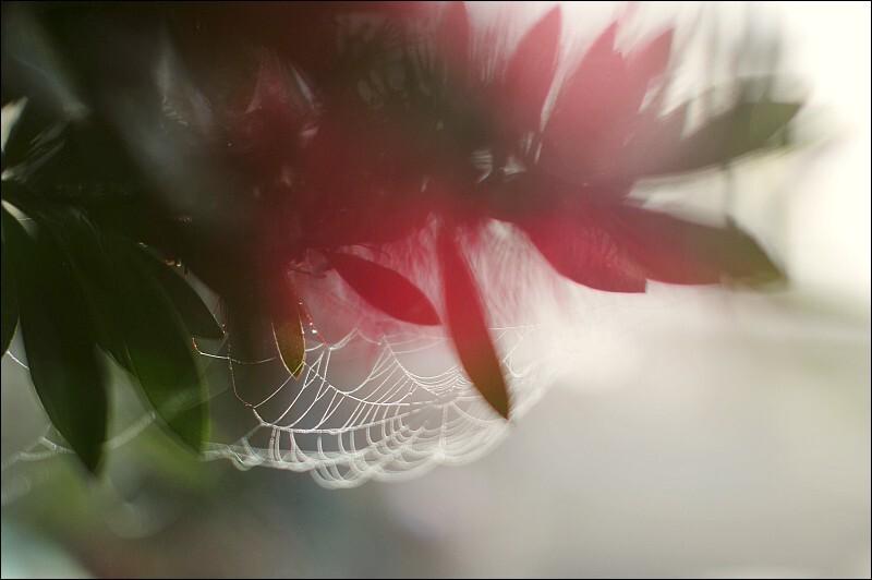 ブラシノキ&クモの巣@庭