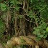 鶴岡八幡宮のイチョウの木
