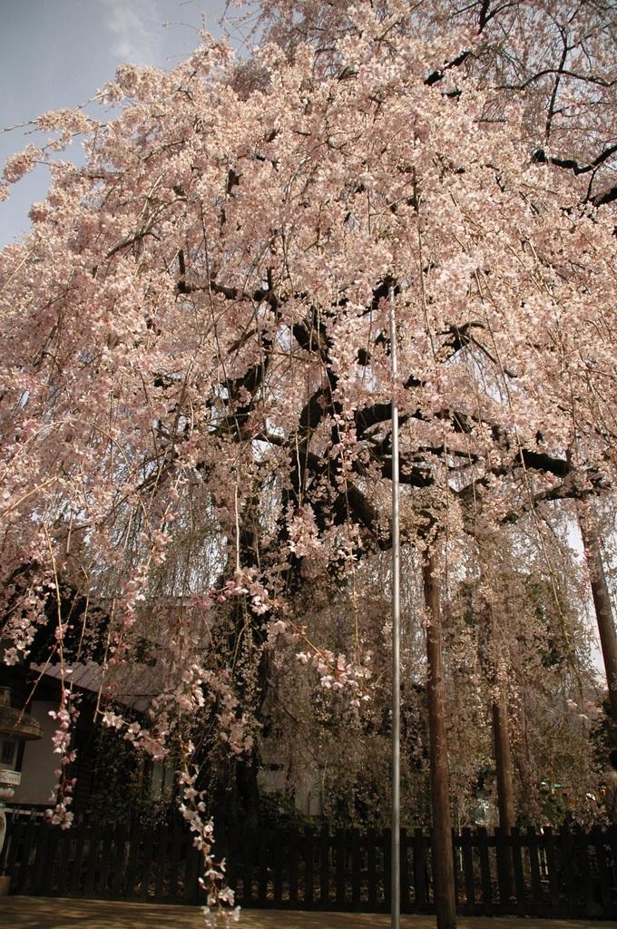 しだれ桜~~~