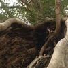 木の根っこ==たくましさをかんじますね