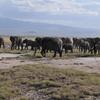 アフリカ象の群れ