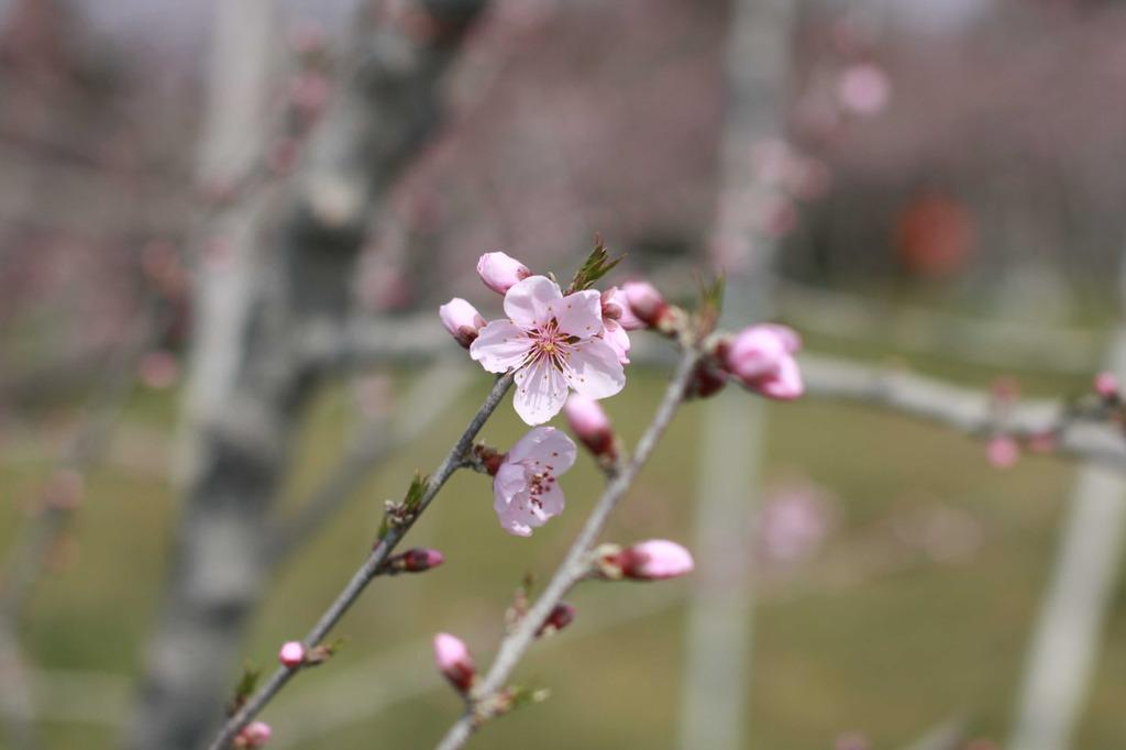 春の花・・・桃です。2