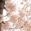 三沢川の桜_1