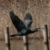 川鵜の飛翔