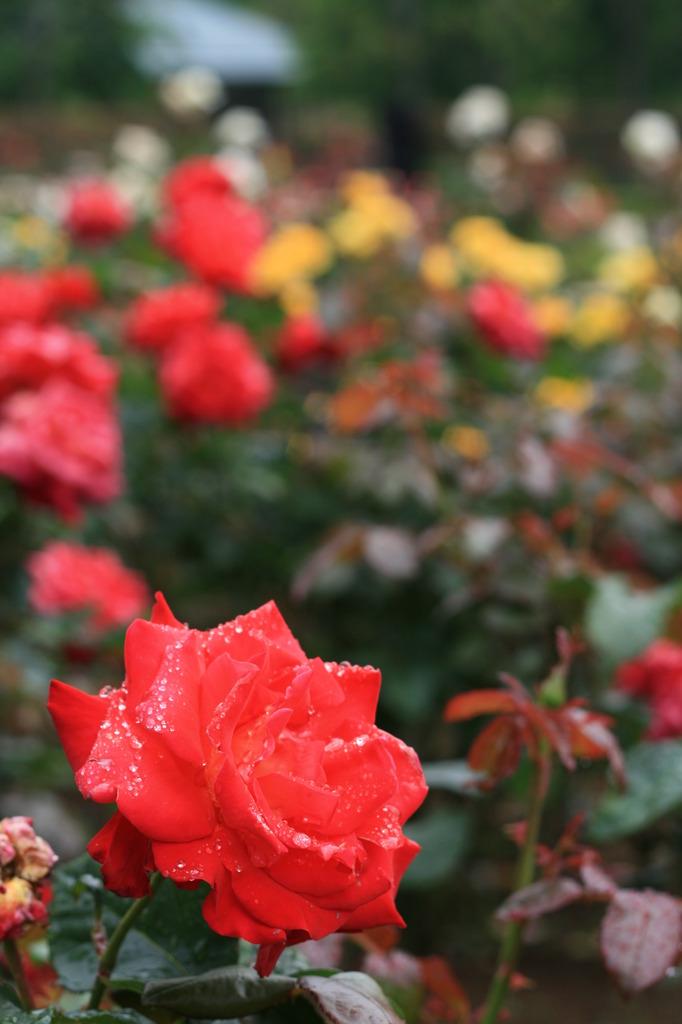 2007_0519KissDXバラ園50mm1本勝負003