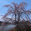 柏の葉公園 八重紅枝垂