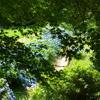 楓の木陰より紫陽花を望む