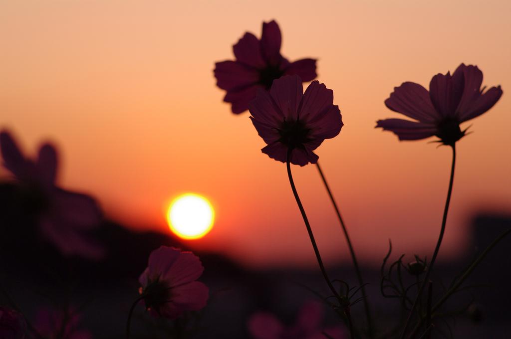 夕焼け秋桜