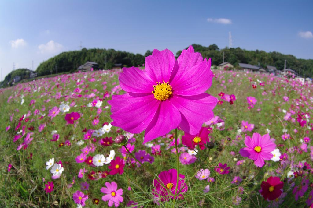 花びらいっぱいに太陽を受けて