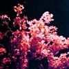 夜のお花見
