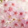 門前の桜2