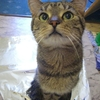 愛猫うめぼし