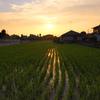 夕日を浴びて育つ稲