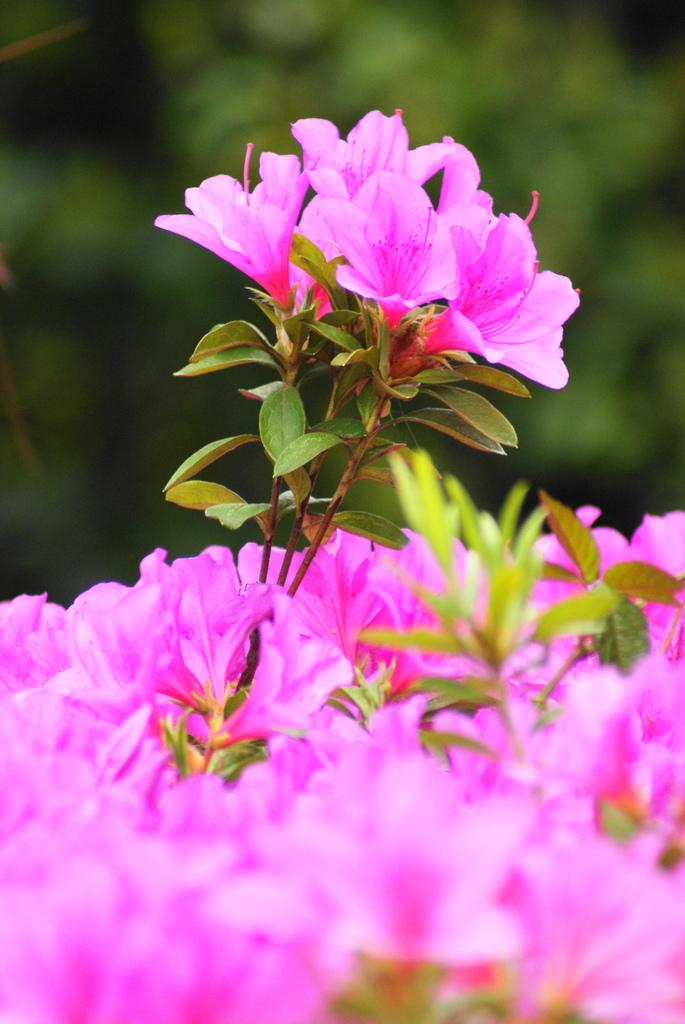 つつじの花束