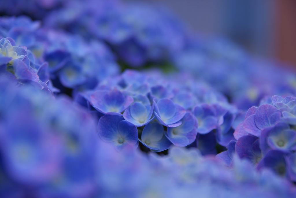 紫陽花の海