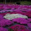 国田さん家の芝桜#1