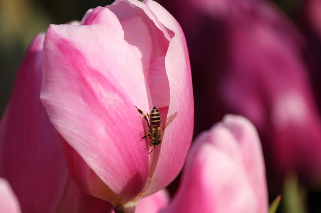 冬咲きチューリップと蜂
