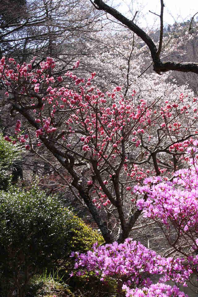 桜・梅・躑躅