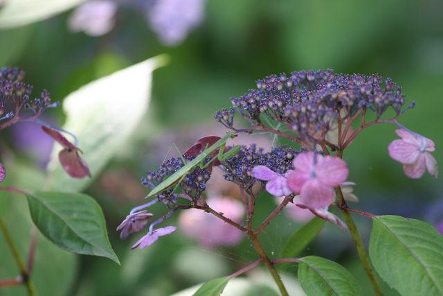 萼紫陽花と蟷螂