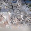 窓から見える桜です