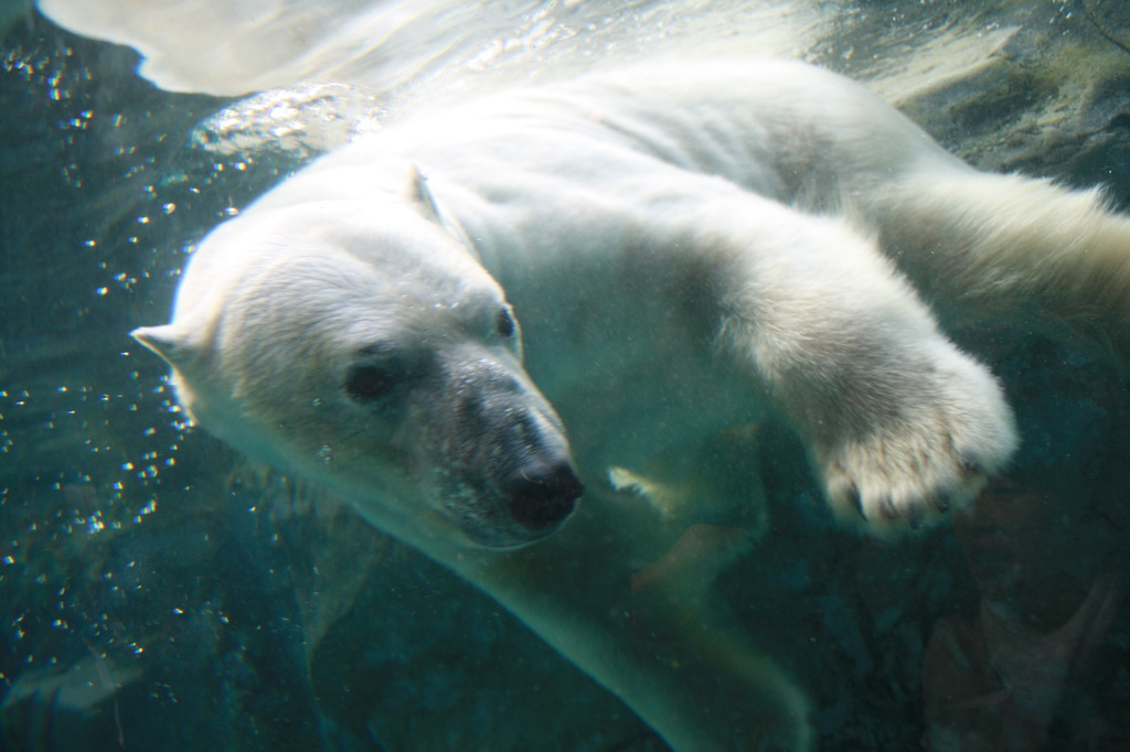 白クマのダイブ1