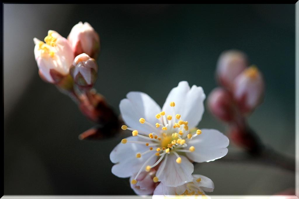 春を待てない桜チャン♪