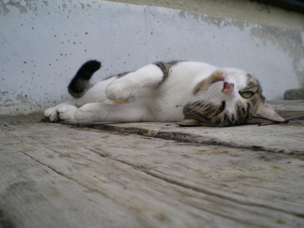 我が家の猫です