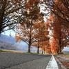 秋のメタセコイア