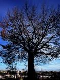 いつもの道のいつもの木。