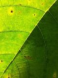 イチヂクの葉