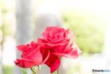 初夏の陽気と赤いバラ・・