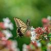 夏のおわりに蝶が飛ぶ・・