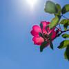 カラッと秋晴れ、サンシャイン薔薇