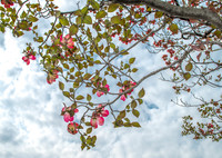 初夏の陽気に、ハナミズキ紅く・・