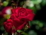 季節来たりて、薔薇 鮮やかに・・