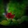 路地に咲く一輪の薔薇