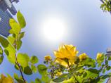 今日の薔薇は、夏のバラ(;^ ^A