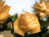 今年の薔薇は、黄色から・・