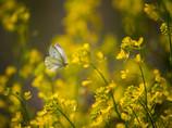 ♪蝶々・蝶々、菜の葉にとまれぇ~