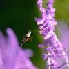 パープル・セージの蜜を吸う蜂雀(ホウジャク)~ホバリング~