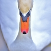 「こぶ白鳥の陽春」